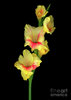 gladiola-yellow-christopher-gruver.jpg