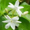 jasmine-grandiflorum-500x500.jpg