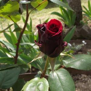 Ruža...